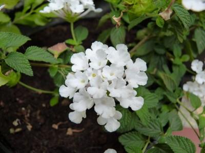 lantana blanche
