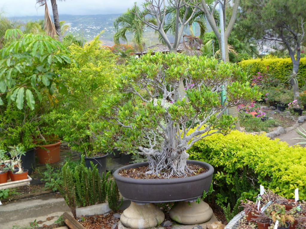 P pini re et jardinerie jardin balcon le de la for Jardin 974
